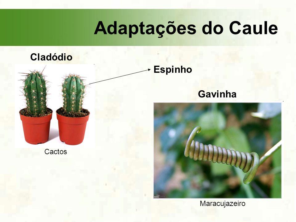 Adaptações do Caule Cladódio Espinho Gavinha Cactos Maracujazeiro