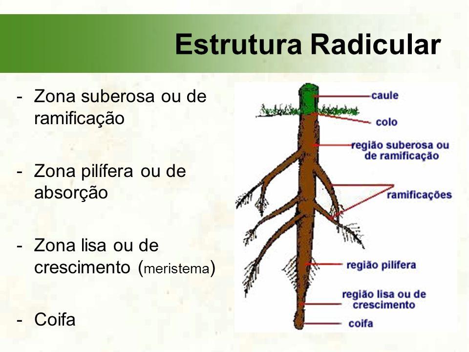 Estrutura Radicular Zona suberosa ou de ramificação