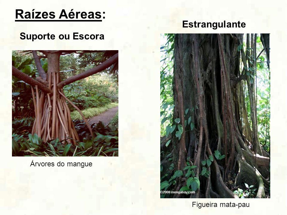 Raízes Aéreas: Estrangulante Suporte ou Escora Árvores do mangue