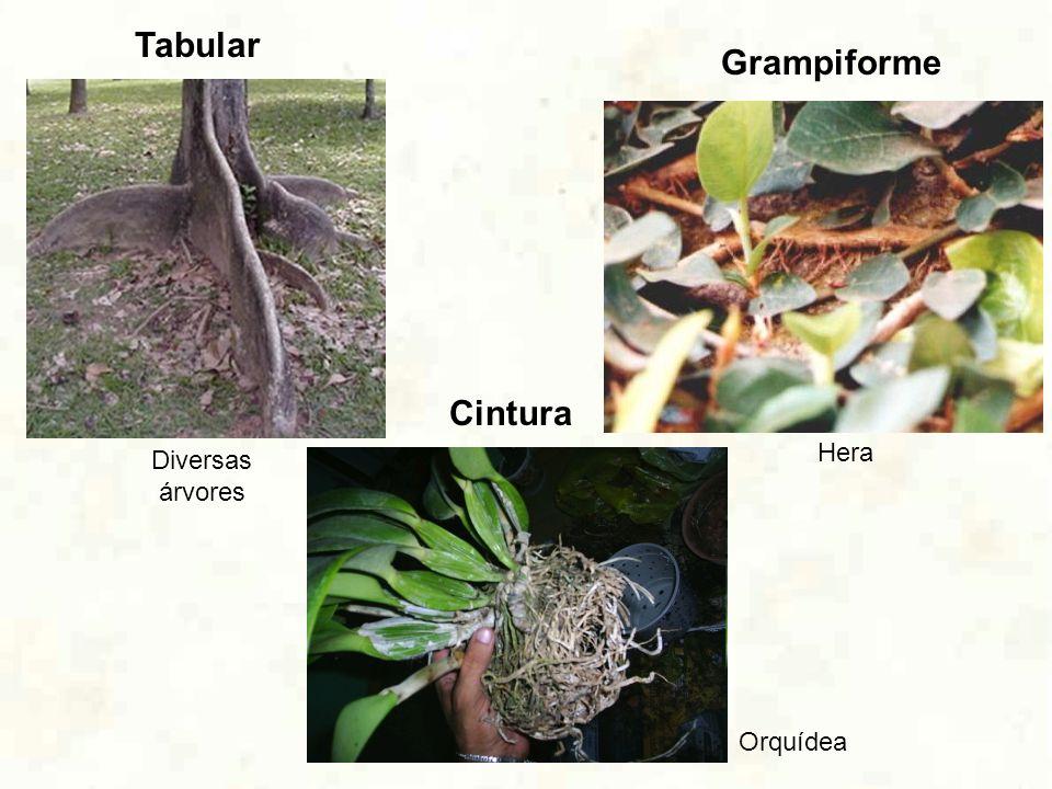 Tabular Grampiforme Cintura Hera Diversas árvores Orquídea