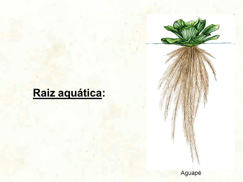 Raiz aquática: Aguapé