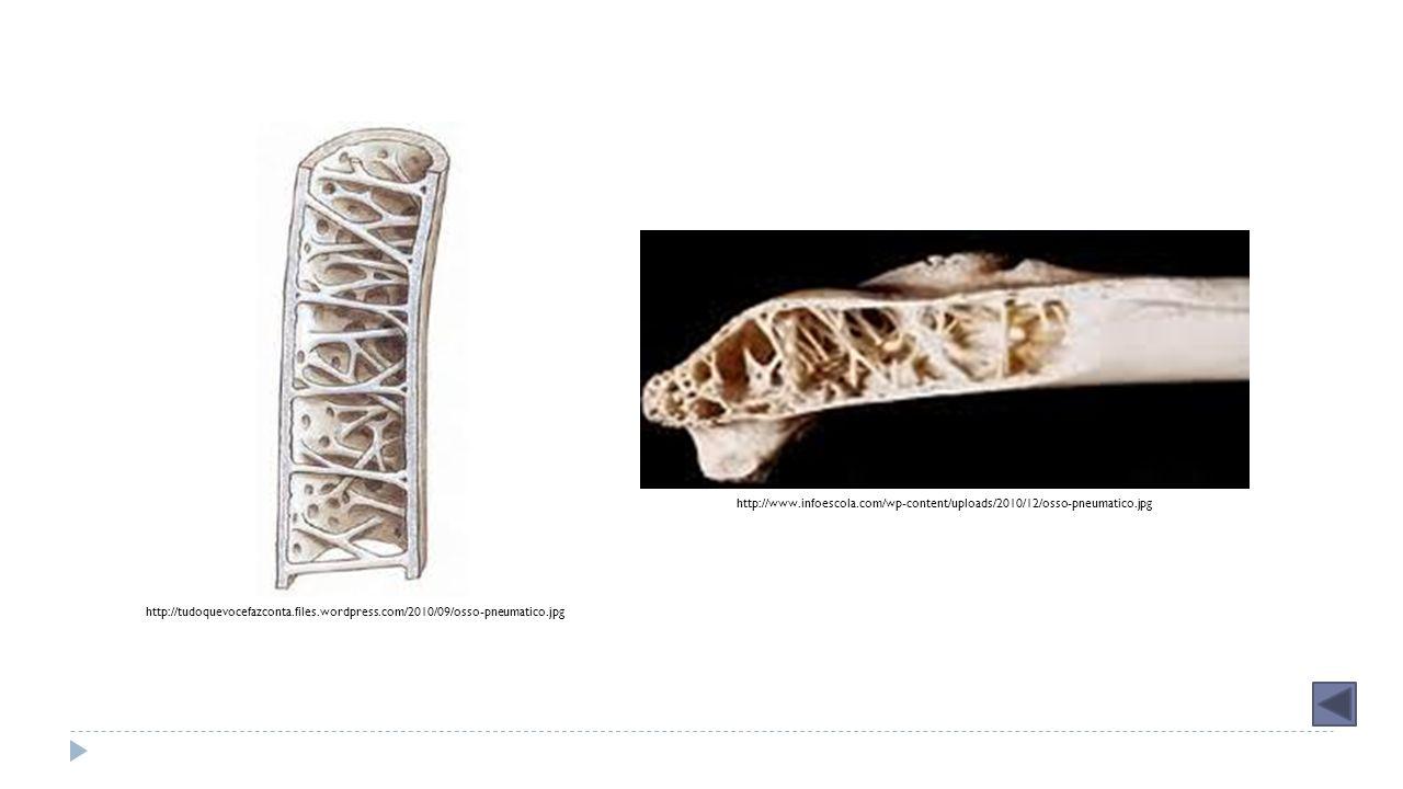 http://www. infoescola. com/wp-content/uploads/2010/12/osso-pneumatico