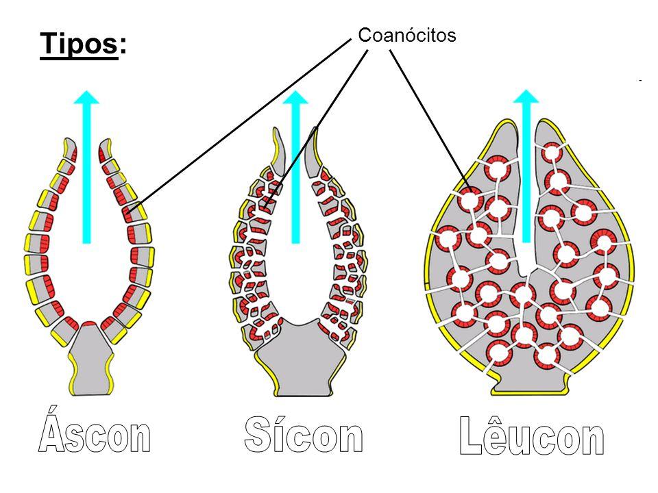 Tipos: Coanócitos Áscon Sícon Lêucon