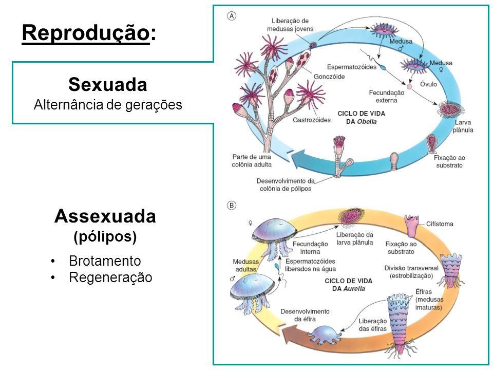 Reprodução: Sexuada Assexuada (pólipos) Alternância de gerações