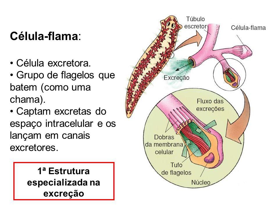 1ª Estrutura especializada na excreção