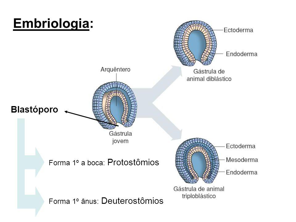 Embriologia: Blastóporo Forma 1º a boca: Protostômios