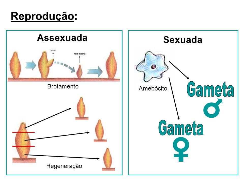 Gameta Gameta Reprodução: Assexuada Sexuada Brotamento Amebócito