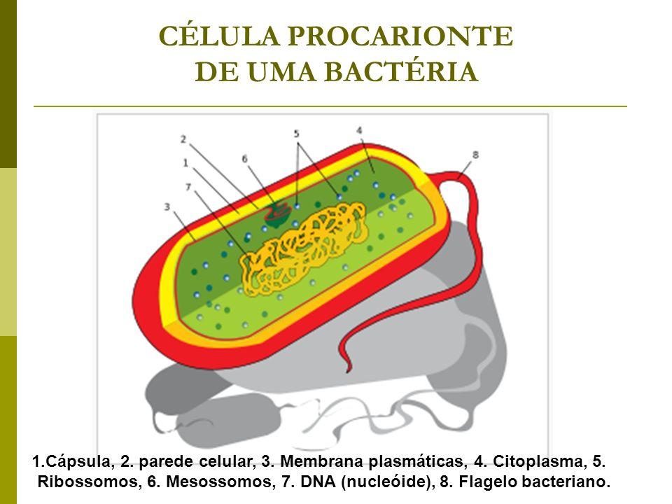 CÉLULA PROCARIONTE DE UMA BACTÉRIA
