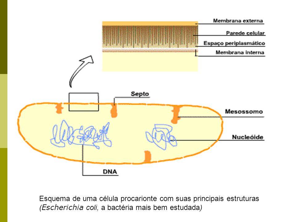 Esquema de uma célula procarionte com suas principais estruturas (Escherichia coli, a bactéria mais bem estudada)