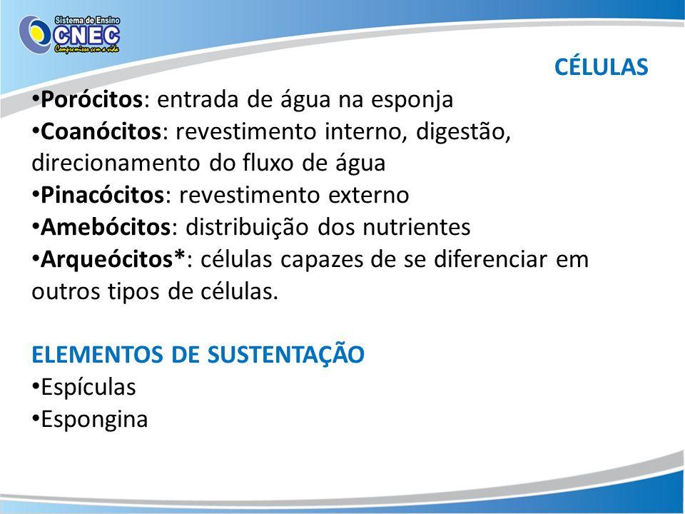 CÉLULAS Porócitos: entrada de água na esponja. Coanócitos: revestimento interno, digestão, direcionamento do fluxo de água.
