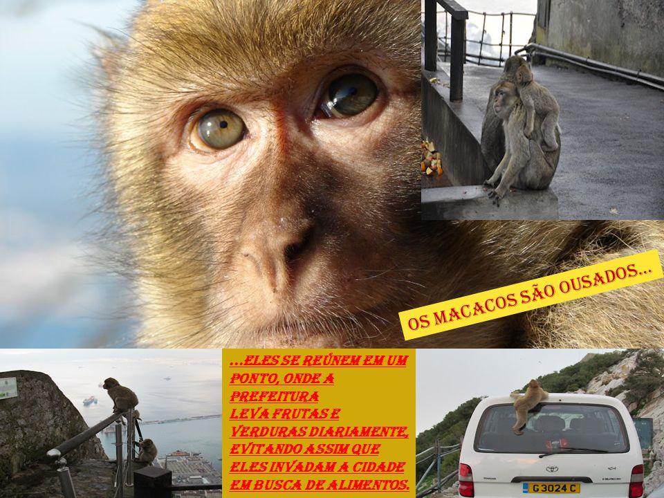 Os macacos são ousados...