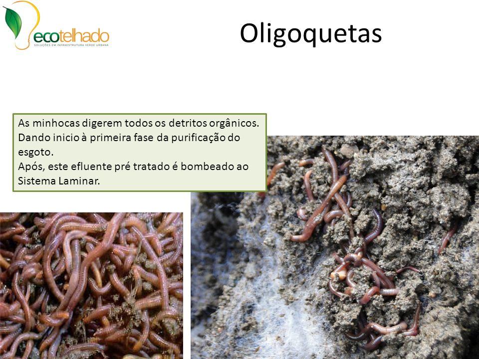 Oligoquetas As minhocas digerem todos os detritos orgânicos. Dando inicio à primeira fase da purificação do esgoto.