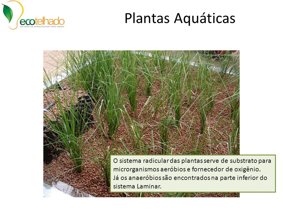 Plantas Aquáticas O sistema radicular das plantas serve de substrato para microrganismos aeróbios e fornecedor de oxigênio.