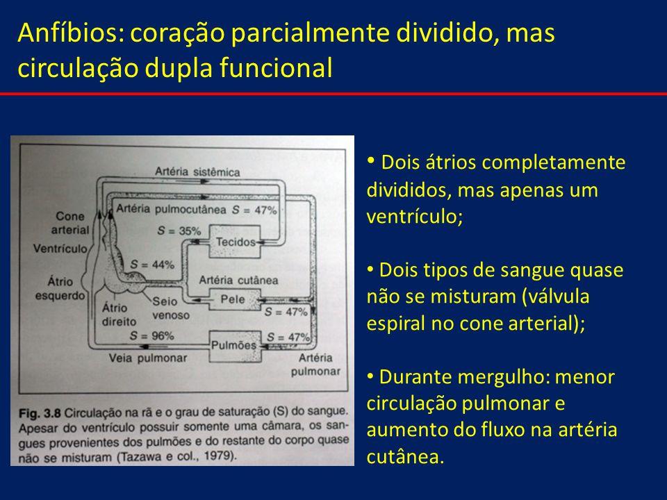 Anfíbios: coração parcialmente dividido, mas circulação dupla funcional