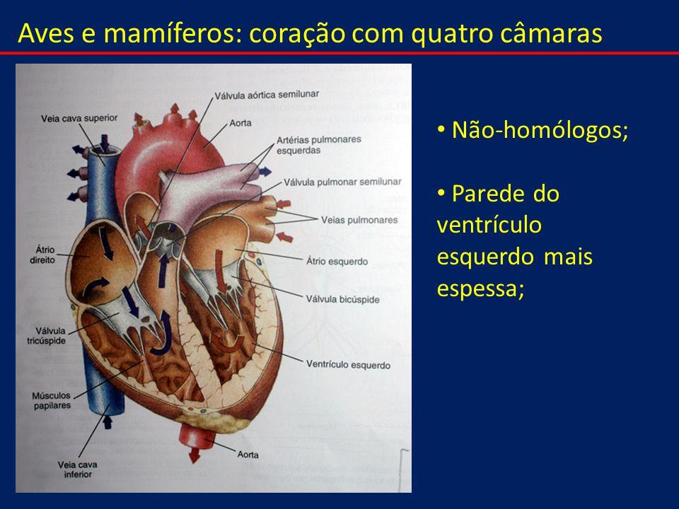 Aves e mamíferos: coração com quatro câmaras