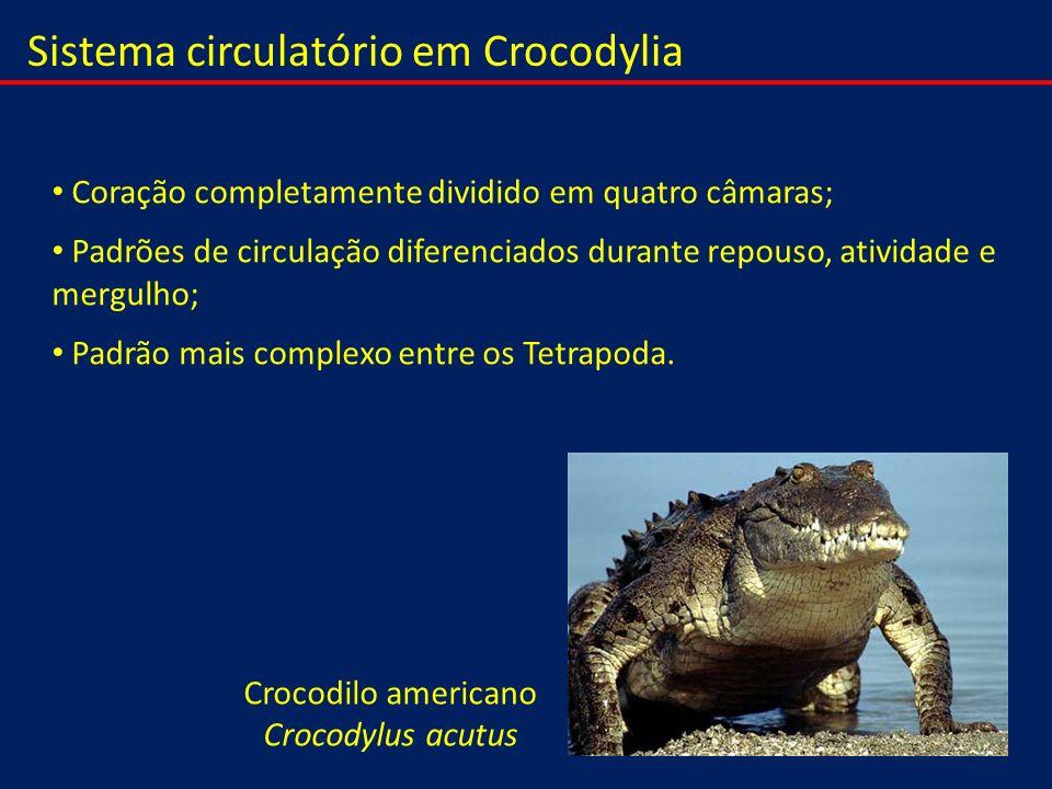 Crocodilo americano Crocodylus acutus