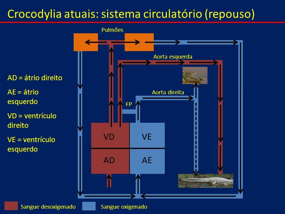 Crocodylia atuais: sistema circulatório (repouso)