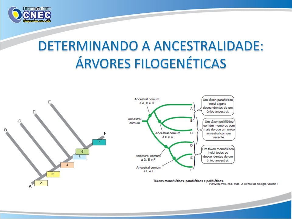 DETERMINANDO A ANCESTRALIDADE: ÁRVORES FILOGENÉTICAS