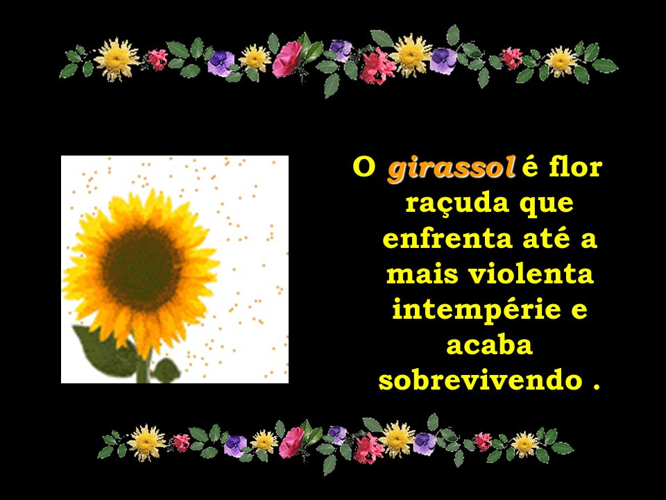 O girassol é flor raçuda que enfrenta até a mais violenta intempérie e acaba sobrevivendo .