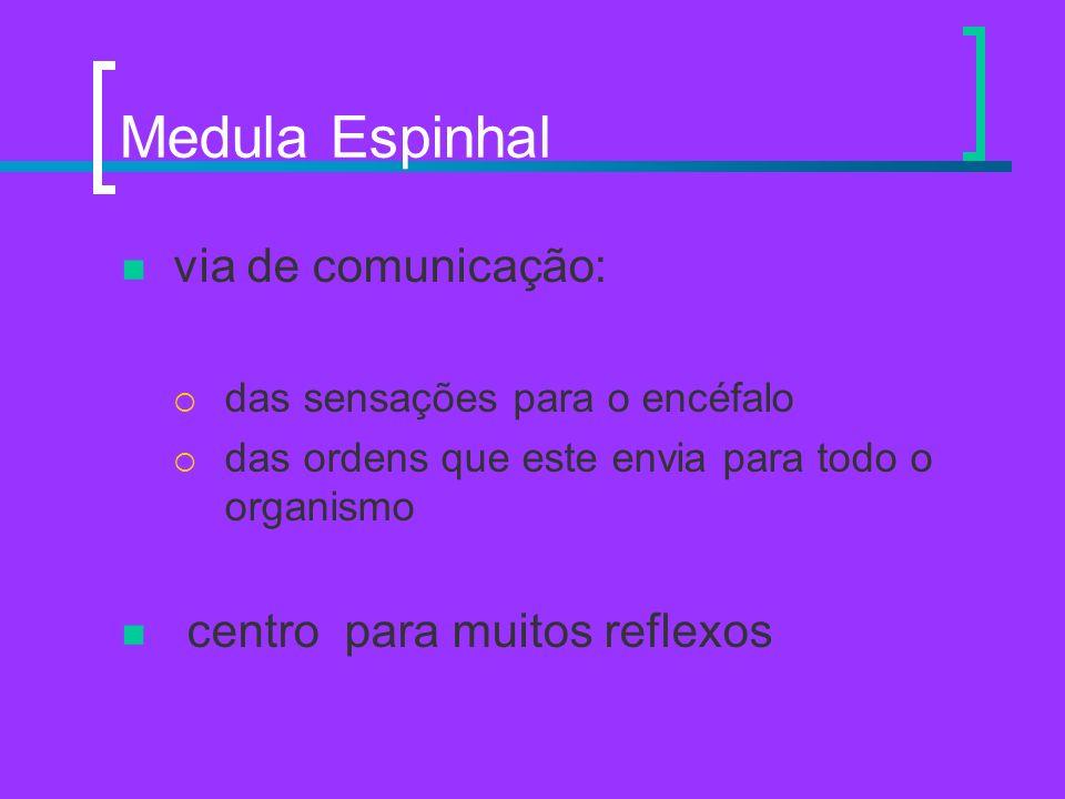 Medula Espinhal via de comunicação: centro para muitos reflexos