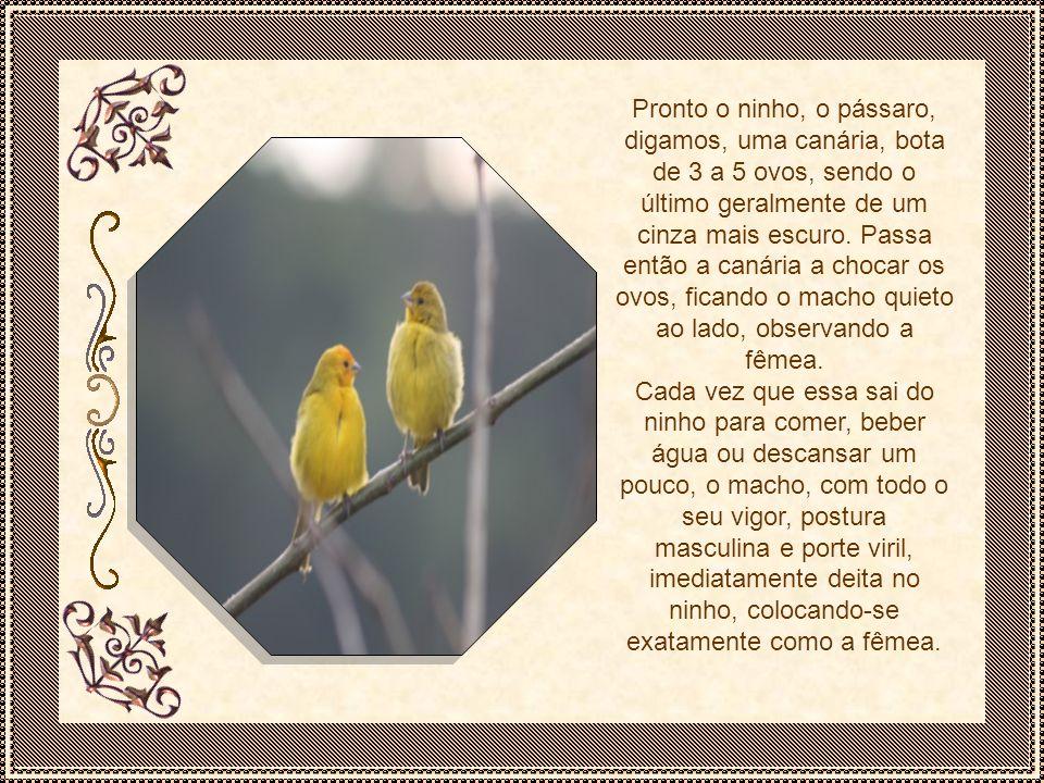 Pronto o ninho, o pássaro, digamos, uma canária, bota de 3 a 5 ovos, sendo o último geralmente de um cinza mais escuro. Passa