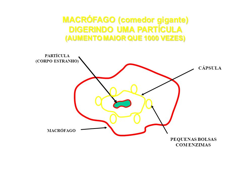 MACRÓFAGO (comedor gigante) DIGERINDO UMA PARTÍCULA