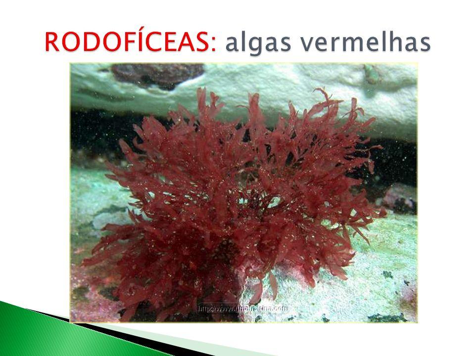 RODOFÍCEAS: algas vermelhas