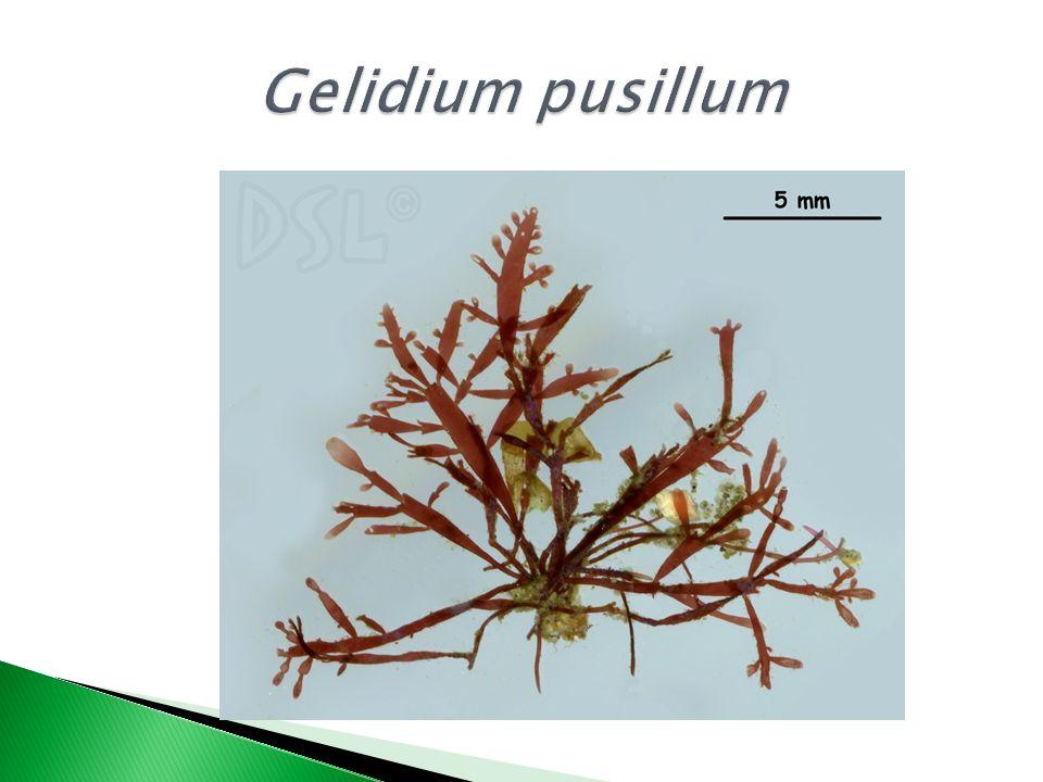 Gelidium pusillum