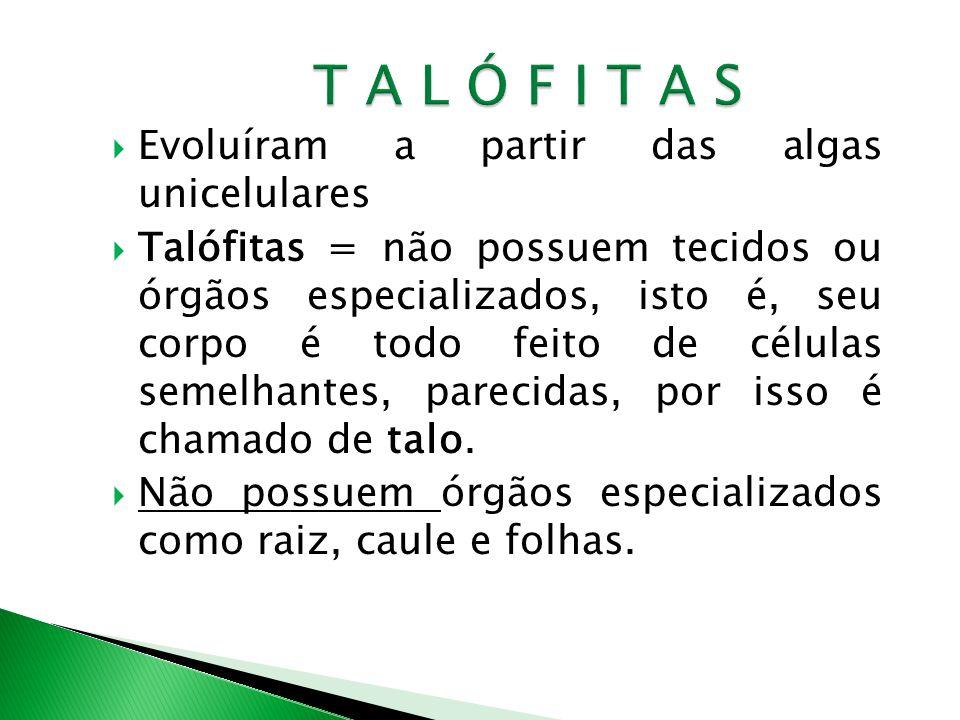 T A L Ó F I T A S Evoluíram a partir das algas unicelulares