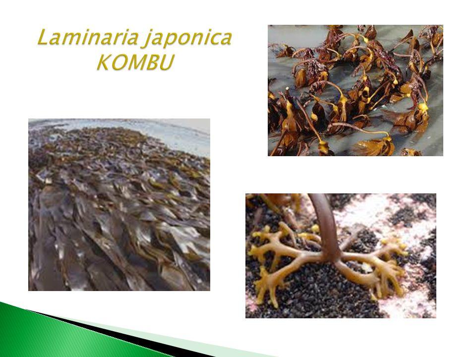 Laminaria japonica KOMBU