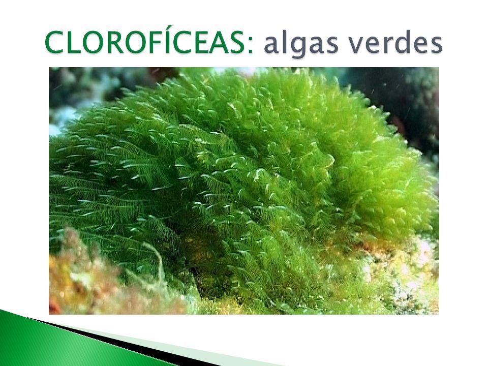 CLOROFÍCEAS: algas verdes