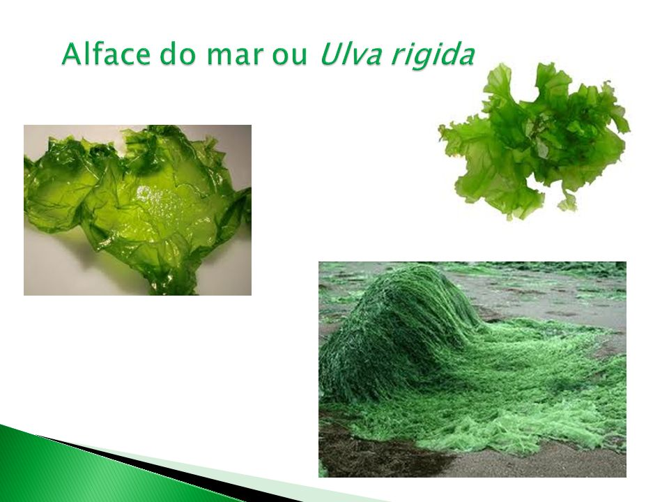 Alface do mar ou Ulva rigida