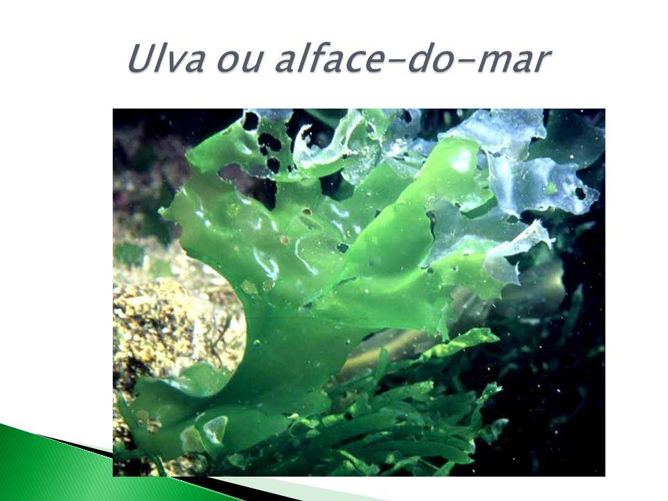 Ulva ou alface-do-mar