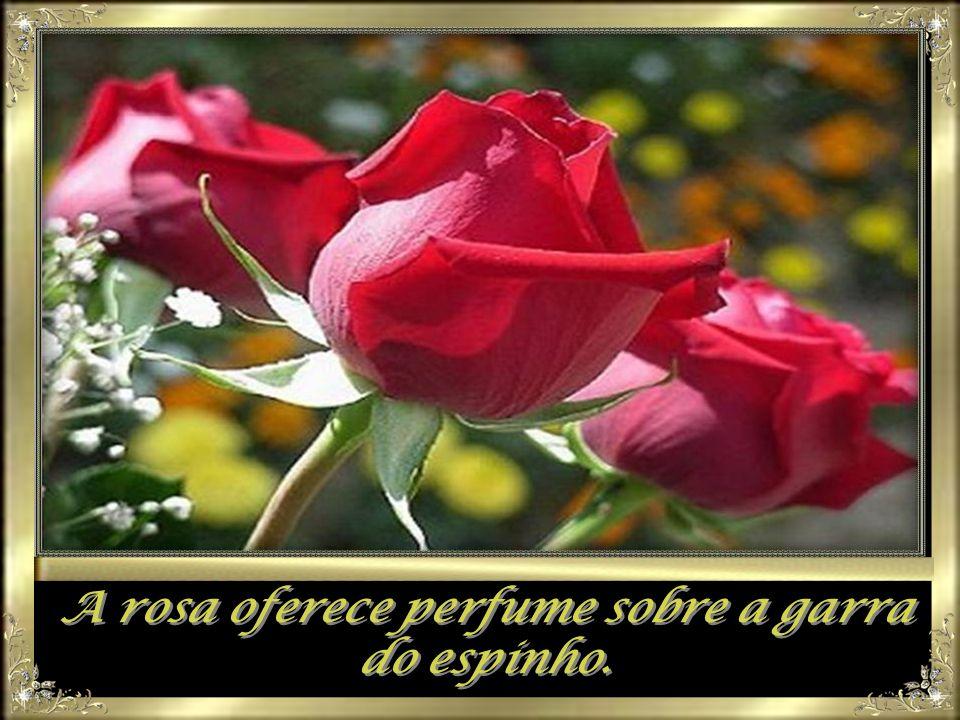 A rosa oferece perfume sobre a garra do espinho.