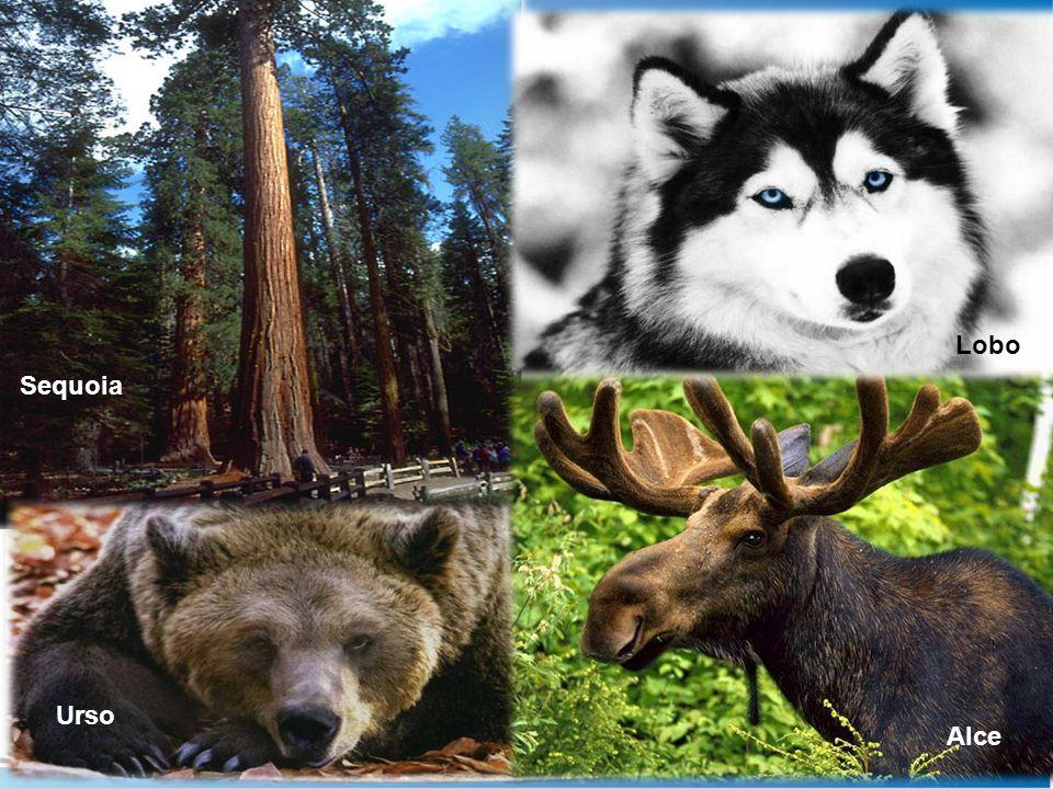 Lobo Sequoia Urso Alce