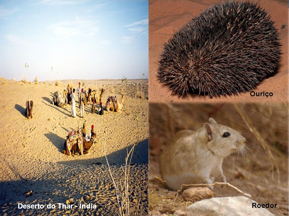 Ouriço Deserto do Thar - Índia Roedor