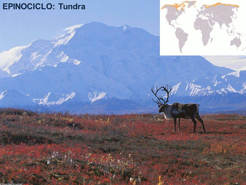 EPINOCICLO: Tundra