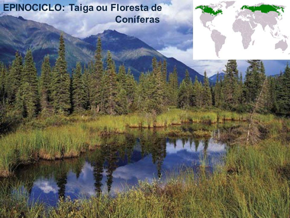 EPINOCICLO: Taiga ou Floresta de