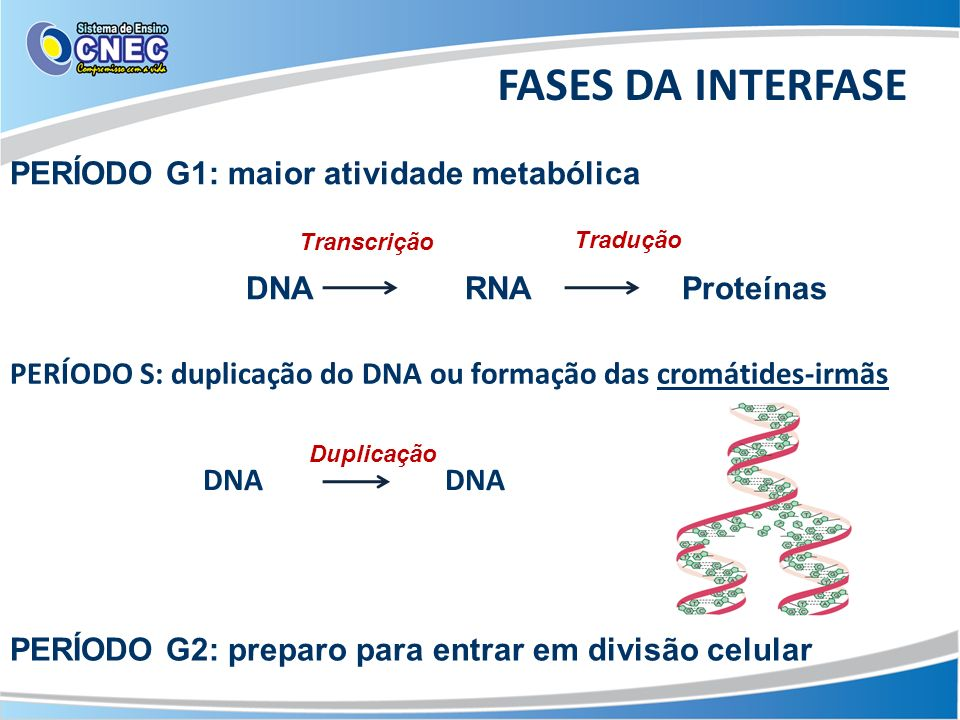 FASES DA INTERFASE PERÍODO G1: maior atividade metabólica