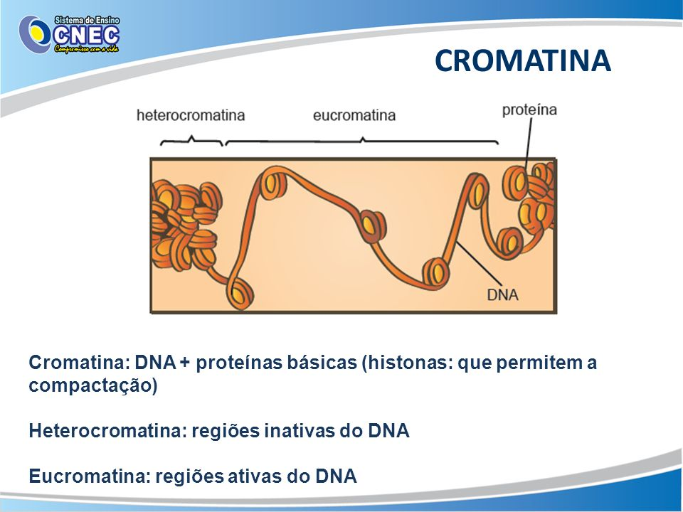 CROMATINA Cromatina: DNA + proteínas básicas (histonas: que permitem a compactação) Heterocromatina: regiões inativas do DNA.