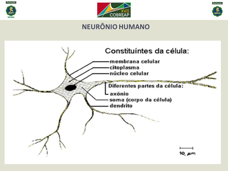 NEURÔNIO HUMANO .