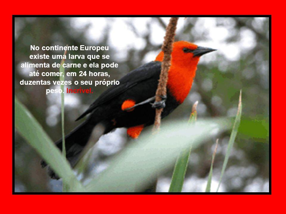 No continente Europeu existe uma larva que se alimenta de carne e ela pode até comer, em 24 horas, duzentas vezes o seu próprio peso.
