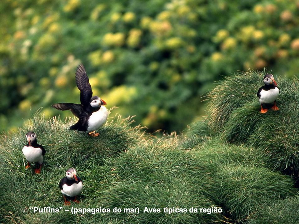 Puffins – (papagaios do mar) Aves típicas da região