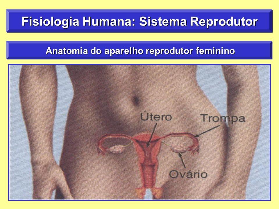 Fantástico Anatomía Y Fisiología Del útero Composición - Imágenes de ...