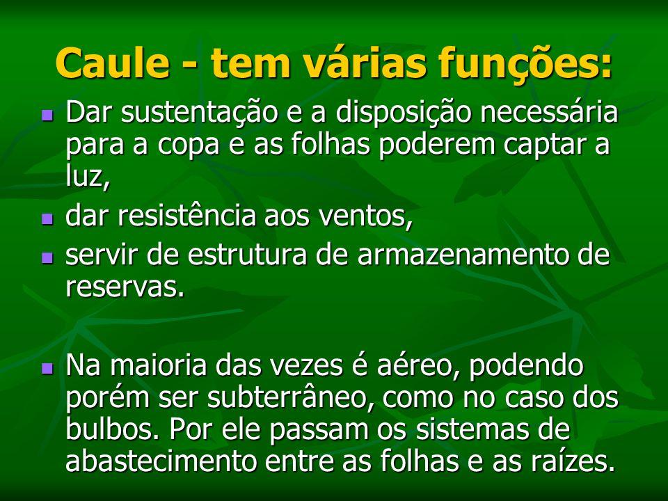 Caule - tem várias funções: