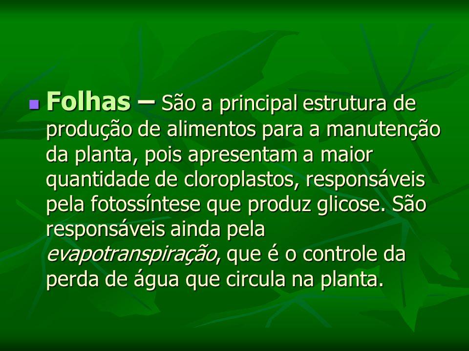Folhas – São a principal estrutura de produção de alimentos para a manutenção da planta, pois apresentam a maior quantidade de cloroplastos, responsáveis pela fotossíntese que produz glicose.