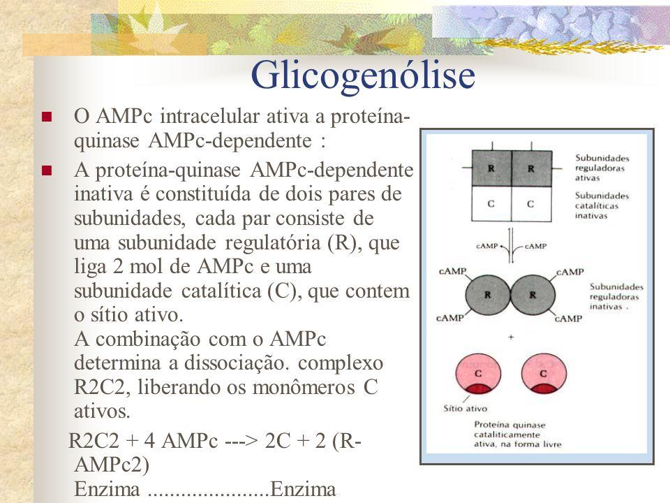 Glicogenólise O AMPc intracelular ativa a proteína-quinase AMPc-dependente :