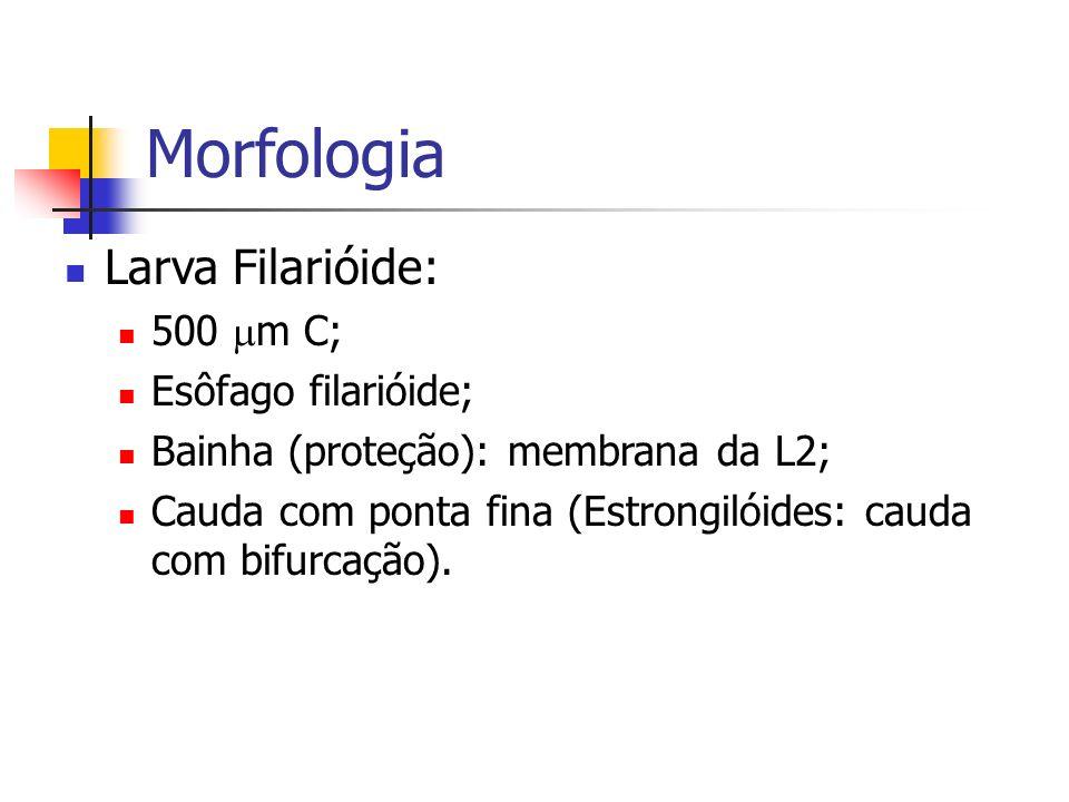 Morfologia Larva Filarióide: 500 mm C; Esôfago filarióide;
