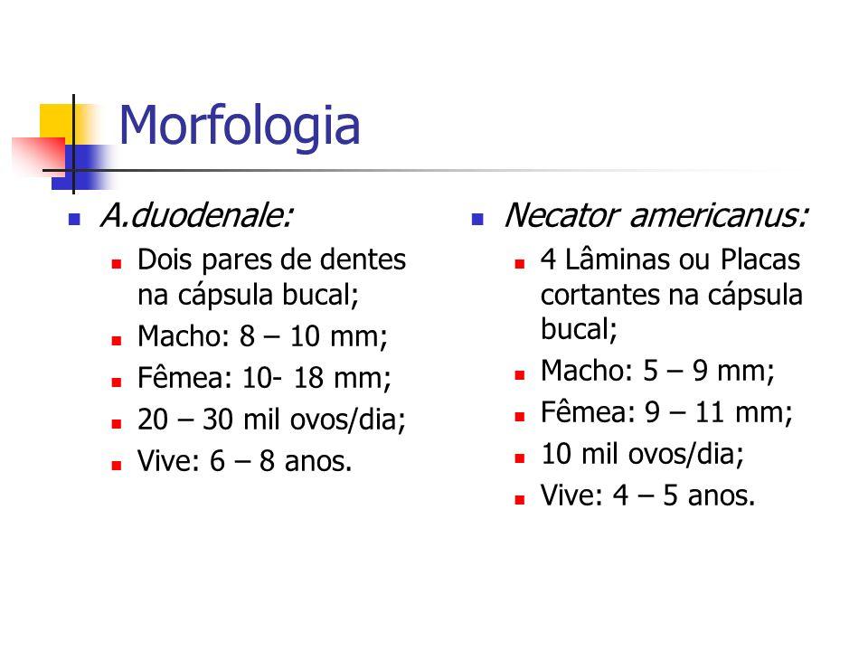 Morfologia A.duodenale: Necator americanus: