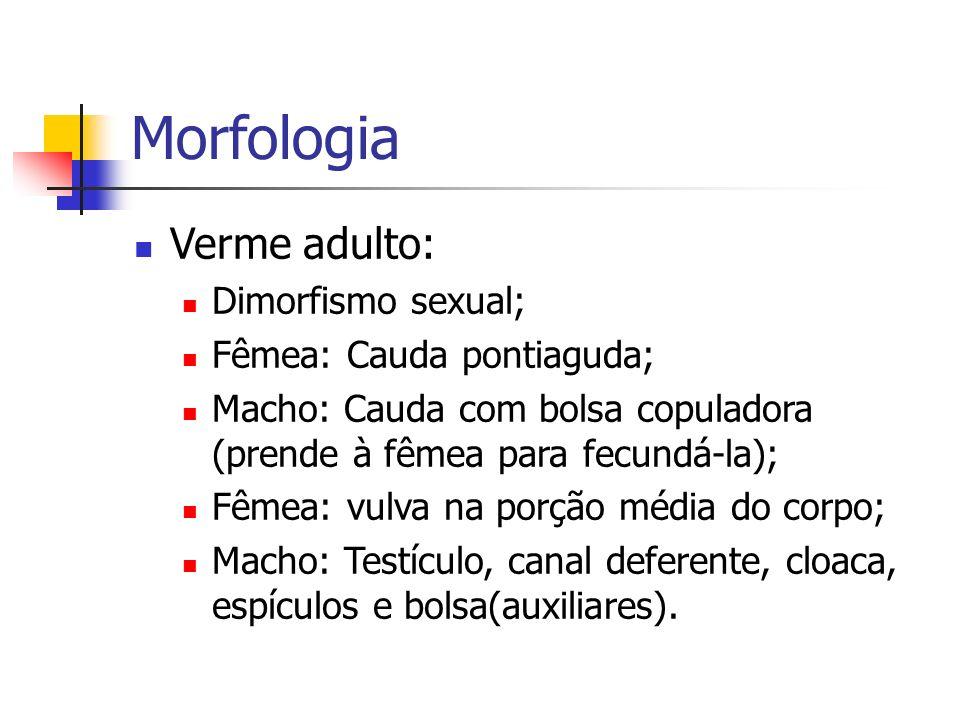 Morfologia Verme adulto: Dimorfismo sexual; Fêmea: Cauda pontiaguda;